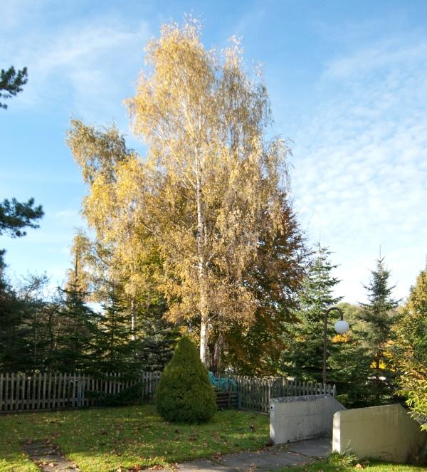 Birke vor Buche_DSC0051_2