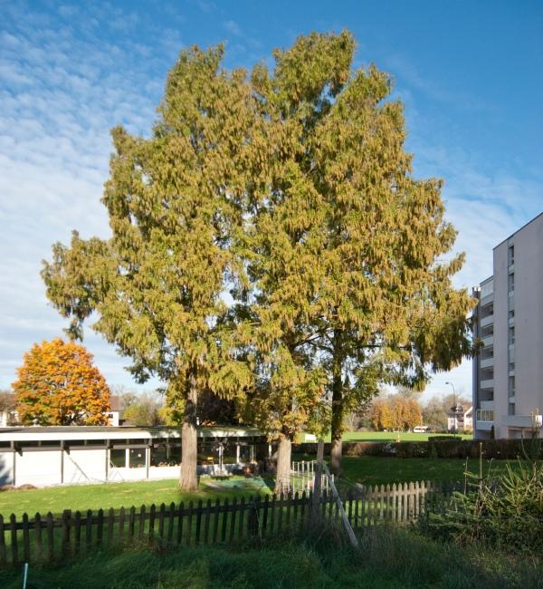 Urwelt-Mammutbäume 01_DSC0020_2